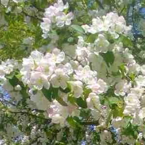 В Минске зацвели сады